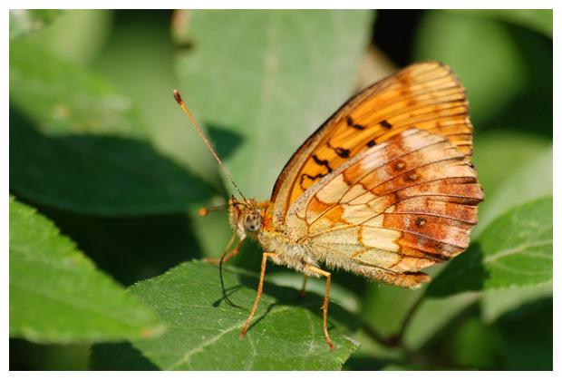 foto's, Braamparelmoervlinder (Brenthis daphne), parelmoervlinders, vlinder