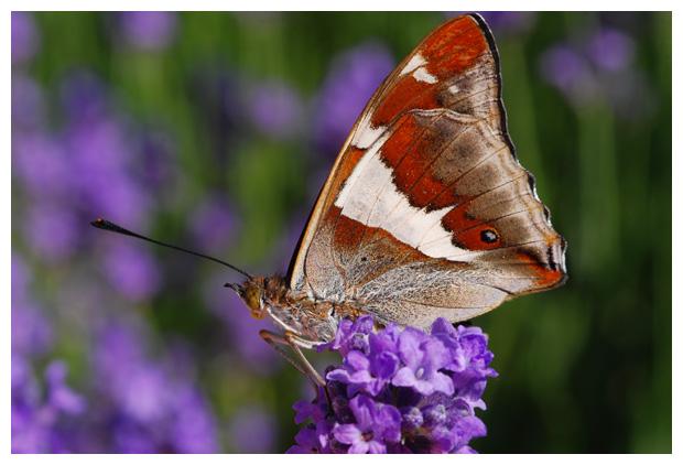 foto, Echte Lavendel, Spijklavendel (Lavandula angustifolia)