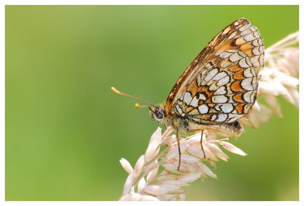 foto's, Steppeparelmoervlinder (Melitaea aurelia), vlinder