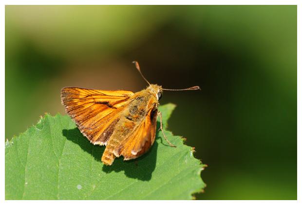 foto´s, Groot dikkopje (Ochlodes sylvanus), vlinder