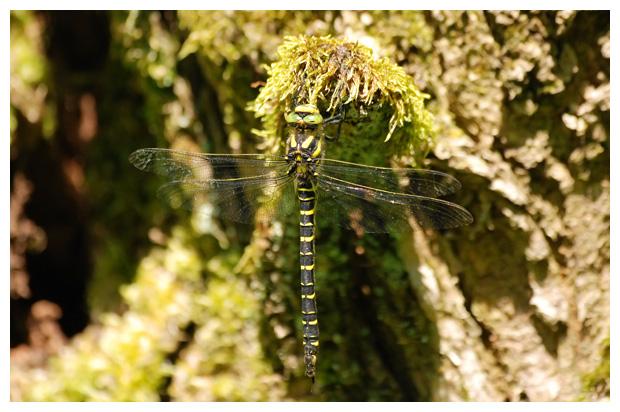 foto's, Gewone bronlibel (Cordulegaster boltonii), libel