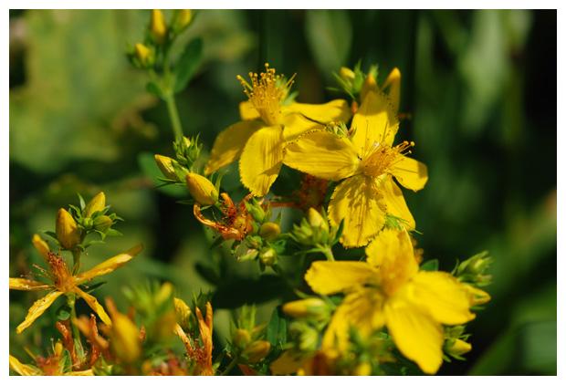foto's, Sint-janskruid (Hypericum perforatum)