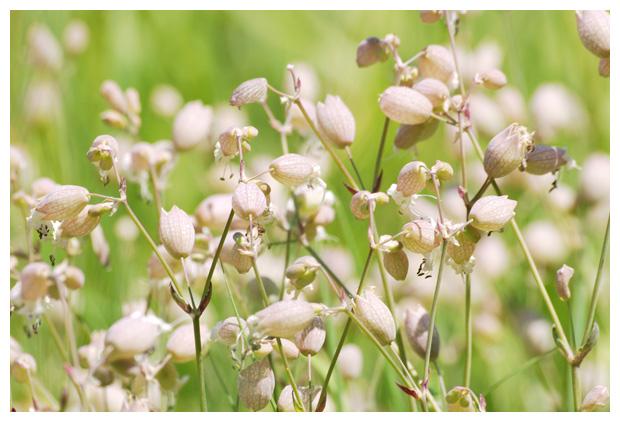 foto's, Blaassilene (Silene vulgaris), plant