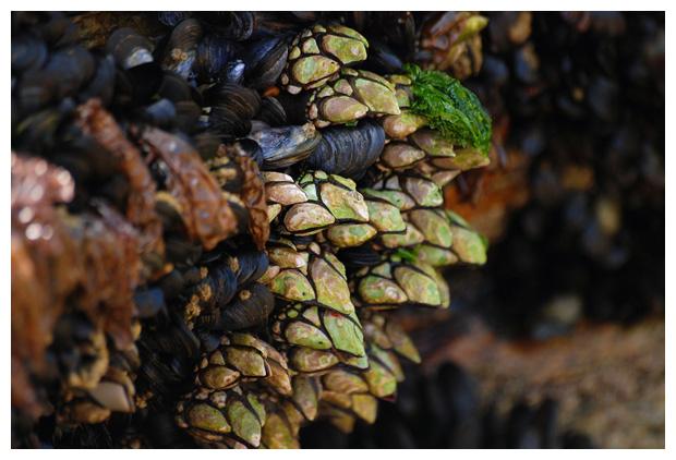 foto´s, Eendenmossel (Pollicipes pollicipes)