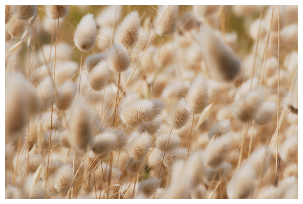 foto's, Hazenstaart (Lagurus ovatus), gras
