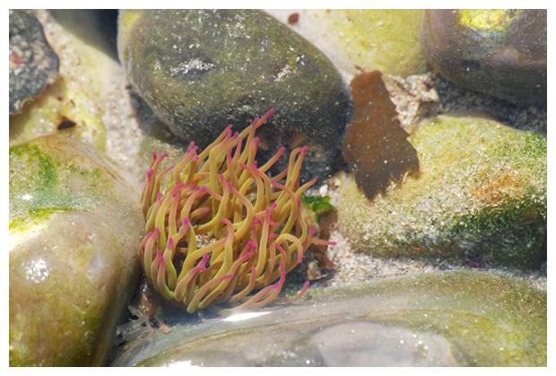 foto's, Wasroos (Anemonia viridis), zeeanemoon