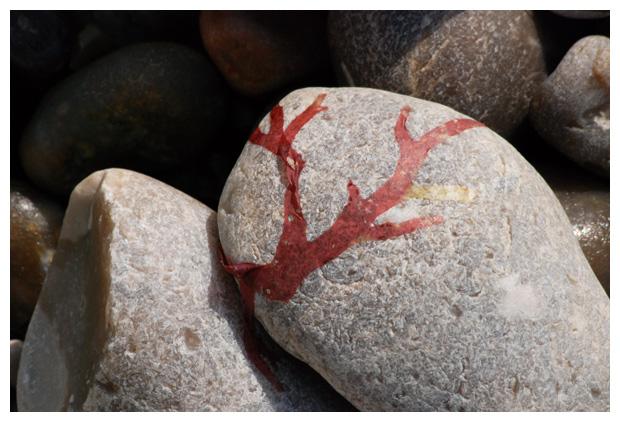 foto's, Iers mos (Chondrus crispus), wier