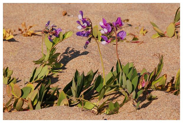 foto's, Zeelathyrus (Lathyrus japonicus), strandplant