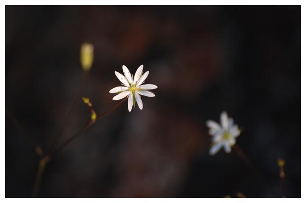 foto's, Grasmuur (Stellaria graminea), plant