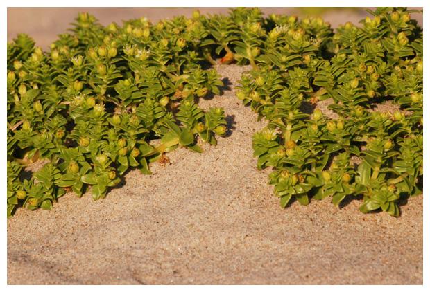 foto's, Zeepostelein (Honckenya peploides), plant duinen