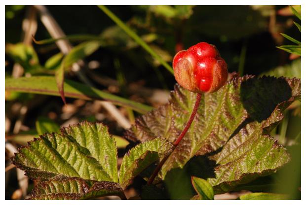 foto's, Kruipbraam, Gele bosbraam, Veenbraam of Bergbraam (Rubus chamaemorus), plant, braam Noorwegen