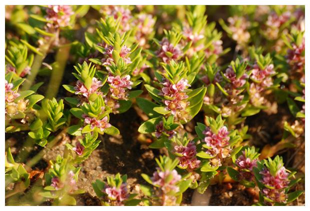 foto´s, Melkkruid of Zeemelkkruid (Glaux maritima L.), kustplant