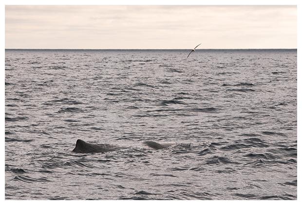 foto's, Potvis (Physeter macrocephalus), walvis