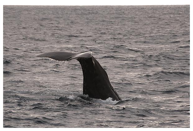 foto's, Potvis (Physeter macrocephalus), staart, walvis