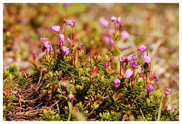 foto's, Blue Heath (Phyllodoce caerulea), hei, Noorwegen