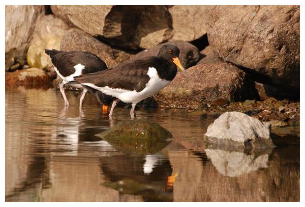 foto's, Scholekster (Haematopus ostralegus), vogel