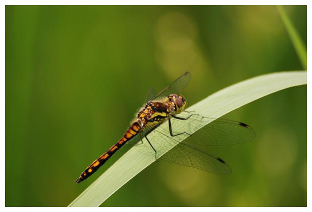 foto's, Zwarte heidelibel (Sympetrum danae), libel