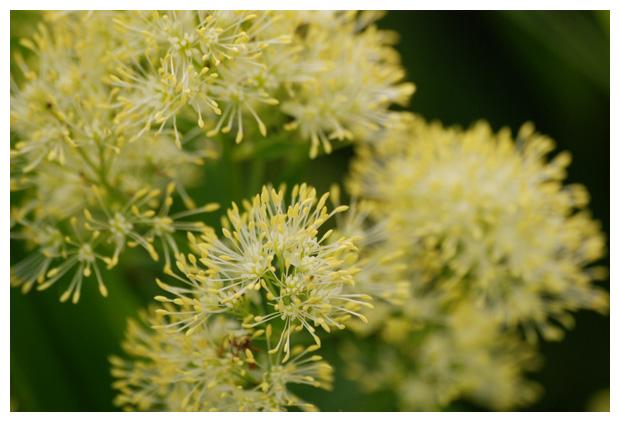 foto's, Poelruit (Thalictrum flavum), plant