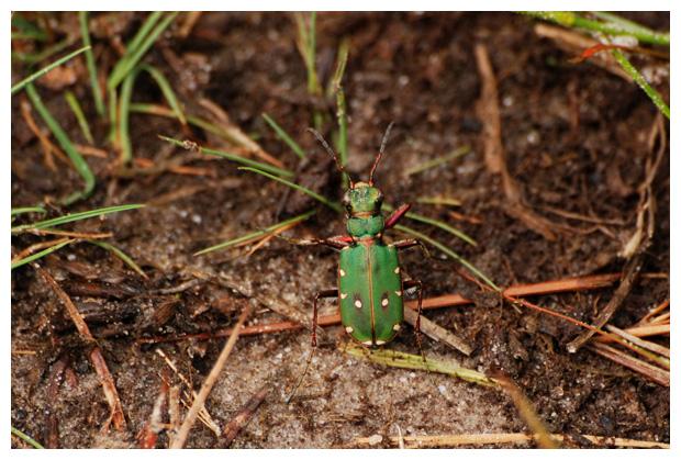 foto´s, Groene zandloopkever (Cicindela campestris), kever
