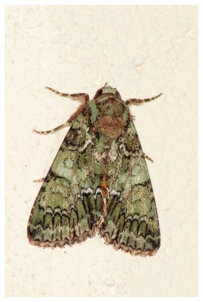foto´s, Groene korstmosuil (Nyctobrya muralis), nachtvlinder
