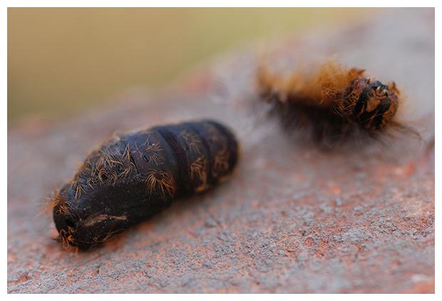 foto's, Plakker (Lymantria dispar), nachtvlinder