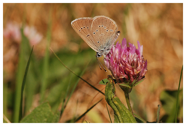 foto´s, Klaverblauwtje (Polyommatus semiargus), vlinder