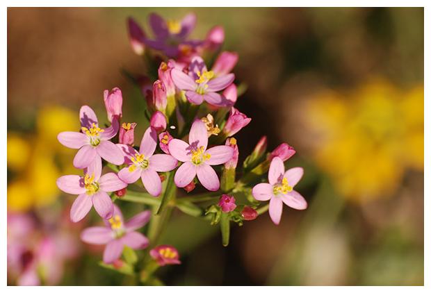 foto's, Echt duizendguldenkruid (Centaurium erythraea), plant