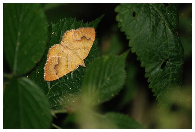 foto's, Gestreepte goudspanner (Camptogramma bilineata), nachtvlinder