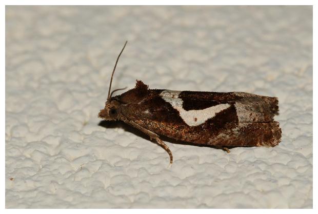 foto, Hoefijzermot (Epiblema foenella), nachtvlinder