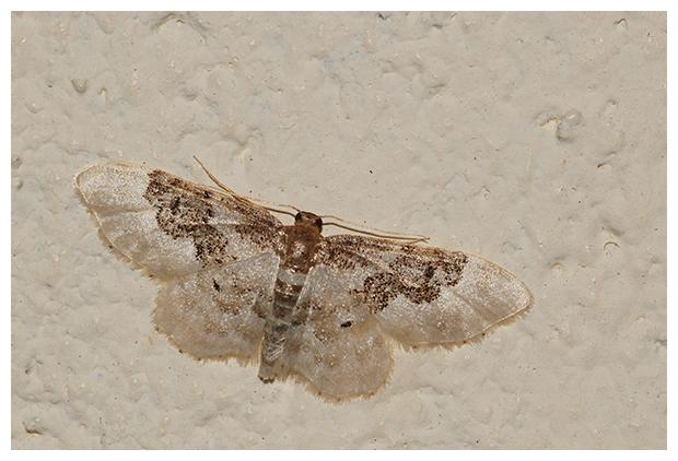 foto's, Schaduwstipspanner (Idaea rusticata), nachtvlinder