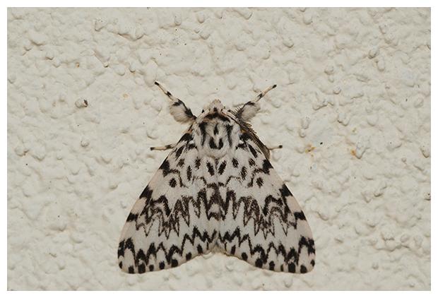 foto's, Nonvlinder of Nonnetje (Lymantria monacha), nachtvlinder