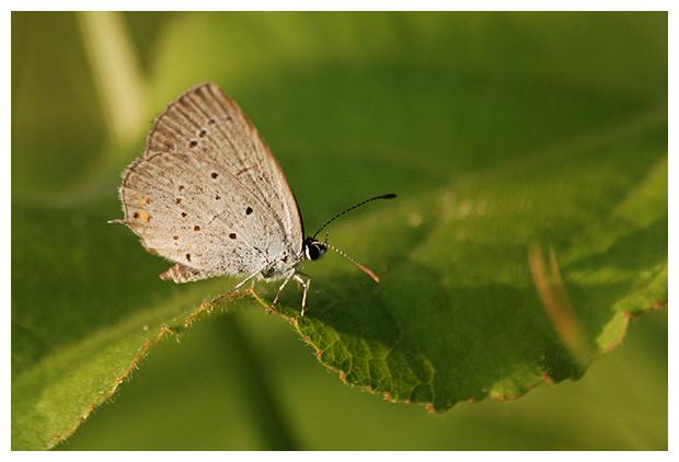 foto´s, Staartblauwtje (Cupido argiades), vlinder