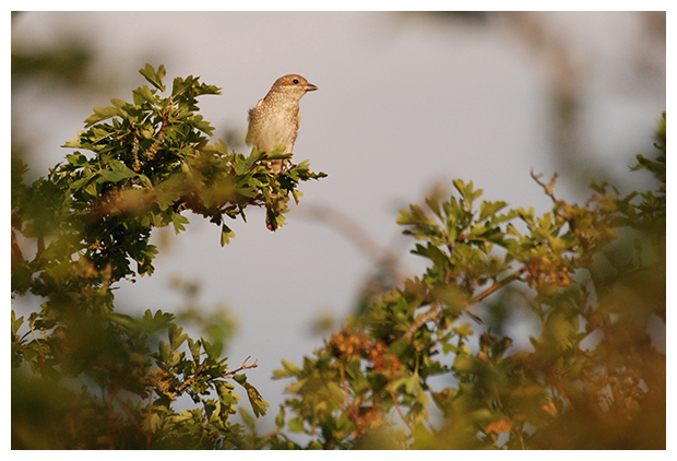 foto's, Grauwe klauwier (Lanius collurio), vogel