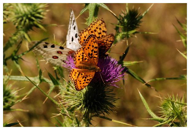 foto's, families van dagvlinders, vlinder