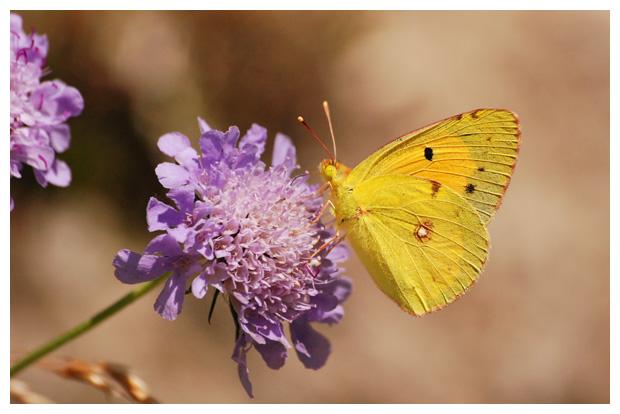 foto's, Oranje Luzernevlinder (Colias crocea), vlinder