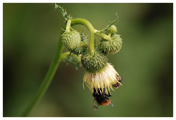 foto's, Bleekgele vederdistel (Cirsium erisithales), distel