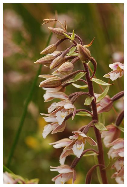 foto's, Moeraswespenorchis (Epipactis palustris), orchidee