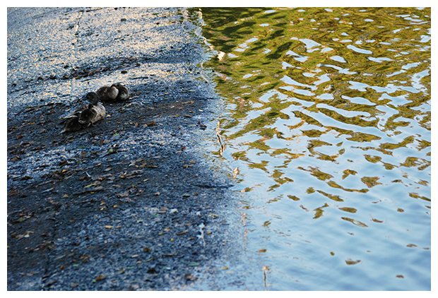 foto's, Wilde eend (Anas platyrhynchos), vogel