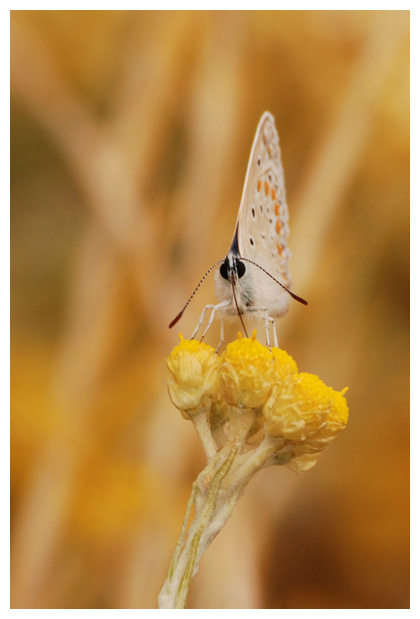 foto´s, Strobloem (Helichrysum stoechas), plant