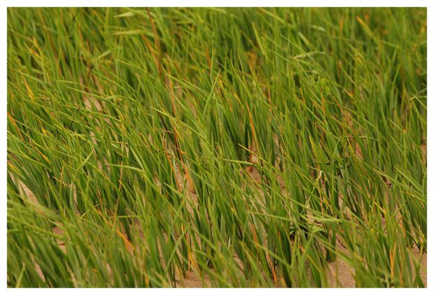 foto's, Klein slijkgras (Spartina maritima), gras kwelders