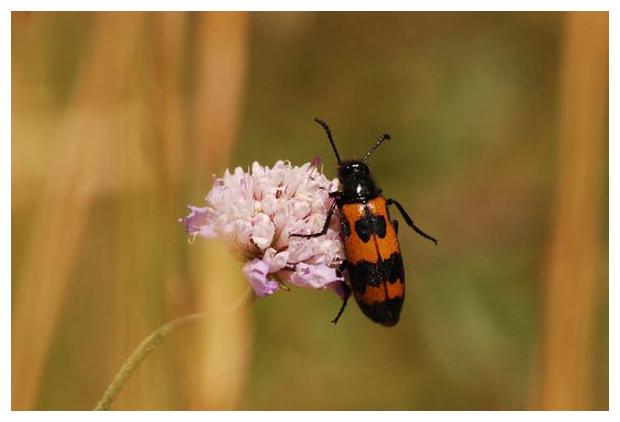foto's, Mylabris variabilis, kever