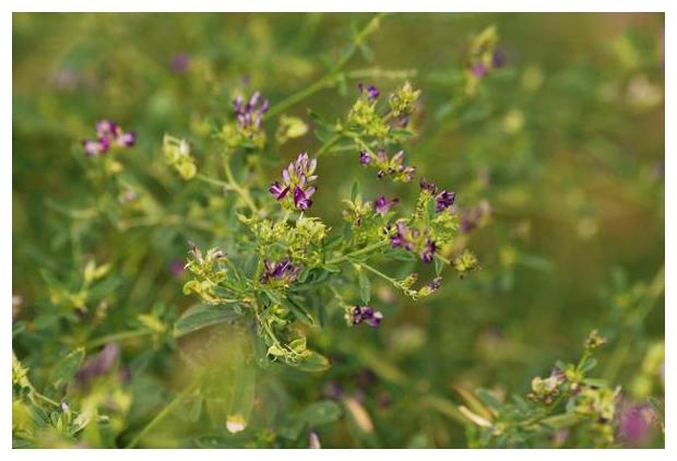 foto's, Luzerne (Medicago sativa), plant