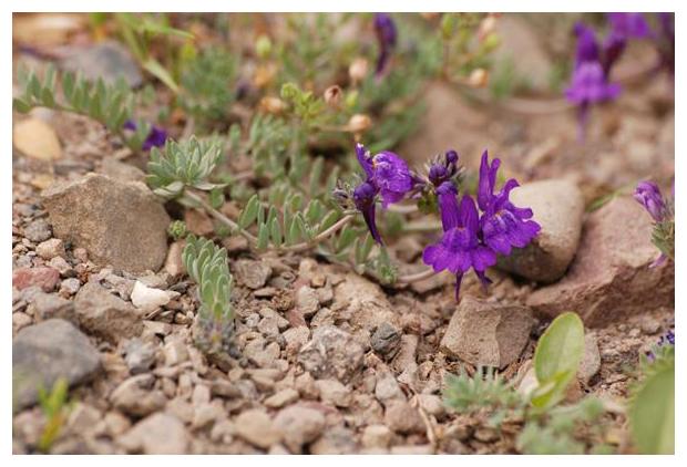 foto's, Alpenleeuwenbek (Linaria alpina), plant