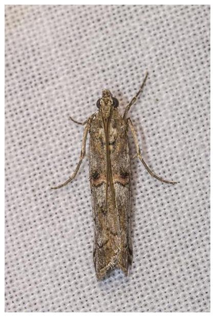 foto´s, Heidelichtmot (Pempelia palumbella), nachtvlinder