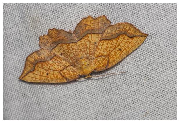 foto's, Puntige zoomspanner (Epione repandaria), nachtvlinder
