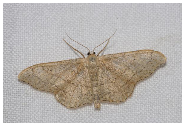 foto´s, Grijze stipspanner (Idaea aversata), nachtvlinder