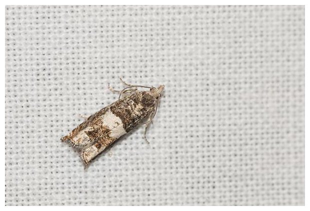 foto's, Berkenoogbladroller (Epinotia demarniana), nachtvlinder