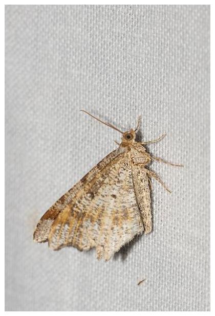 foto´s, Donker klaverblaadje (Macaria alternata), nachtvlinder