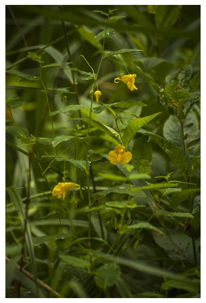 foto's, Groot springzaad (Impatiens noli-tangere), gele bloem, plant