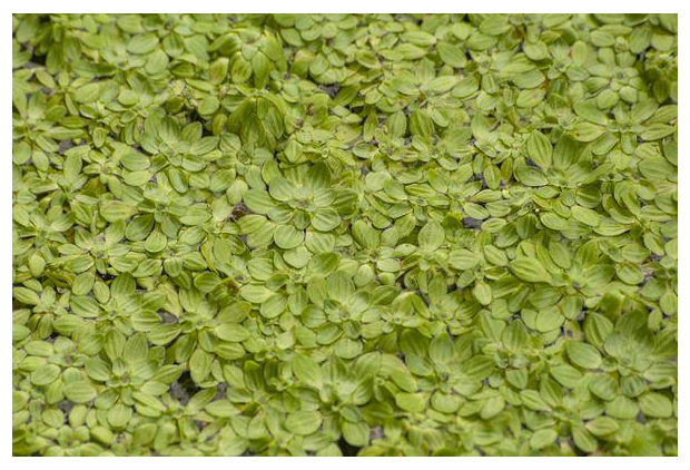 =foto's, Stomphoekig sterrenkroos (Callitriche obtusangula), kroos, waterplant